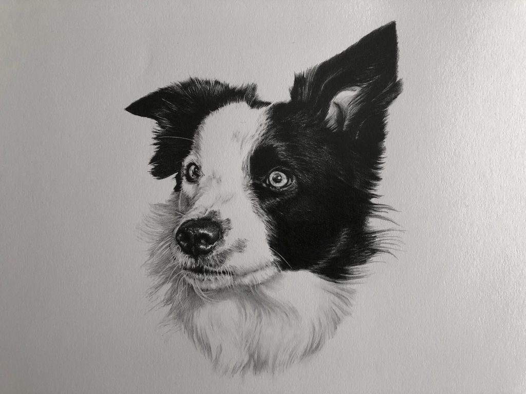 """""""pet portrait pencil drawing of a border collie hand drawn by The Drawn Studio"""""""