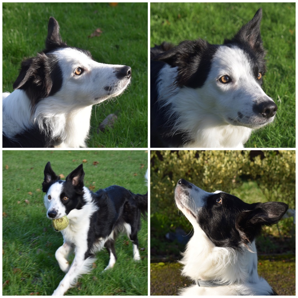 """""""The Drawn Studio reference photos of a border collie dog for a pencil pet portrait drawing"""""""