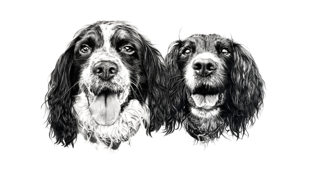 """Pet portrait pencil drawing of two very lively springers hand drawn by The Drawn Studio"""